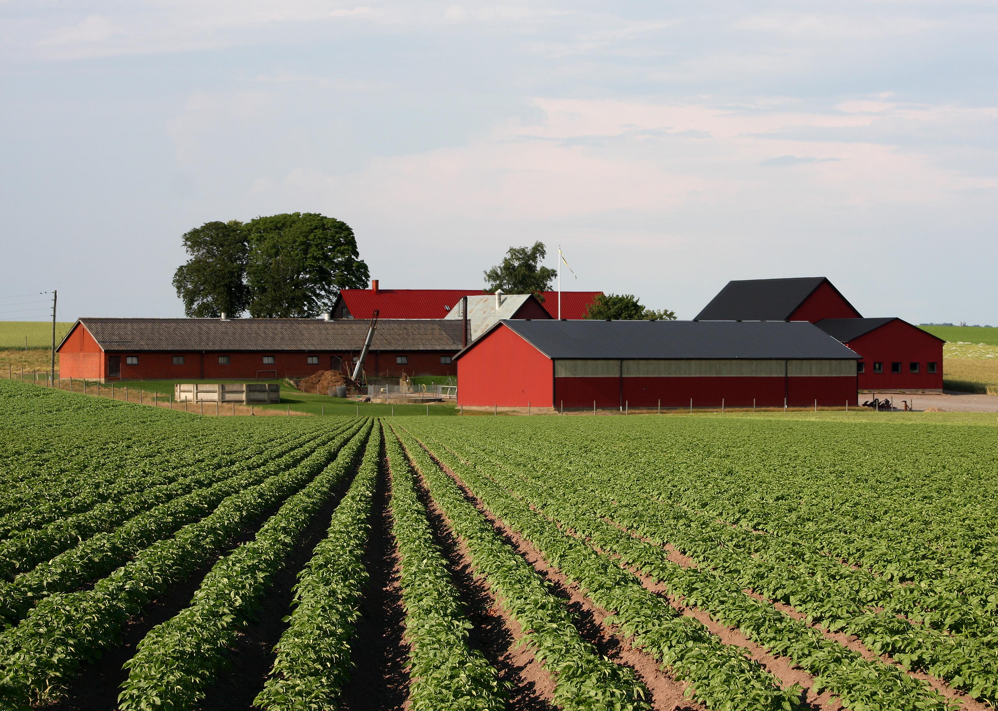 Farm_Kartoffelfeld_Schweden